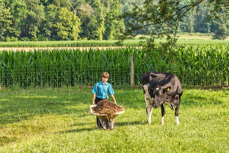 Curious Cow Watches Amish Boy With Wheelbarrow