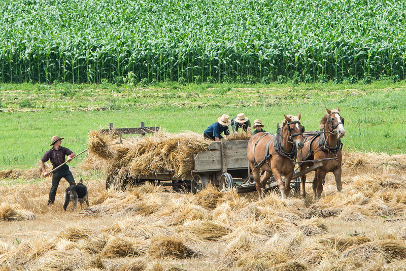 Amish Loading Hay Onto Wagon