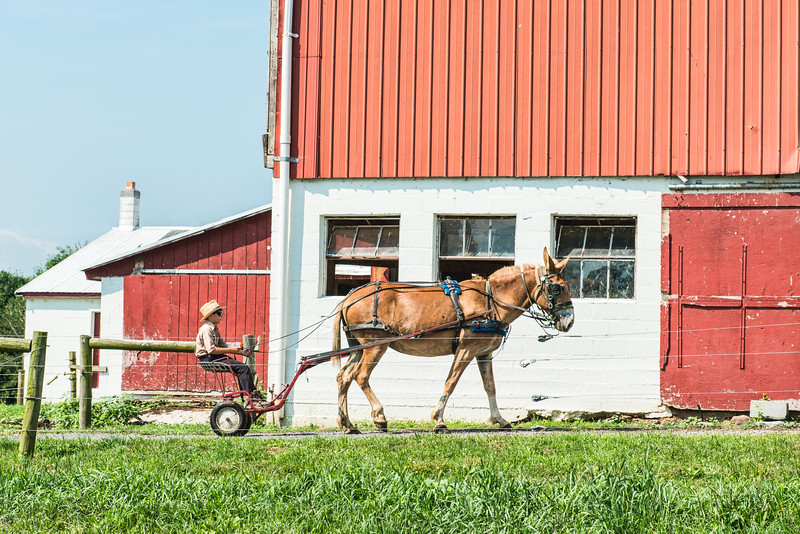 Amish Boy With Mule