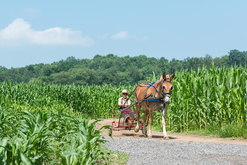 Amish Boy Driving Mule Home For Lunch