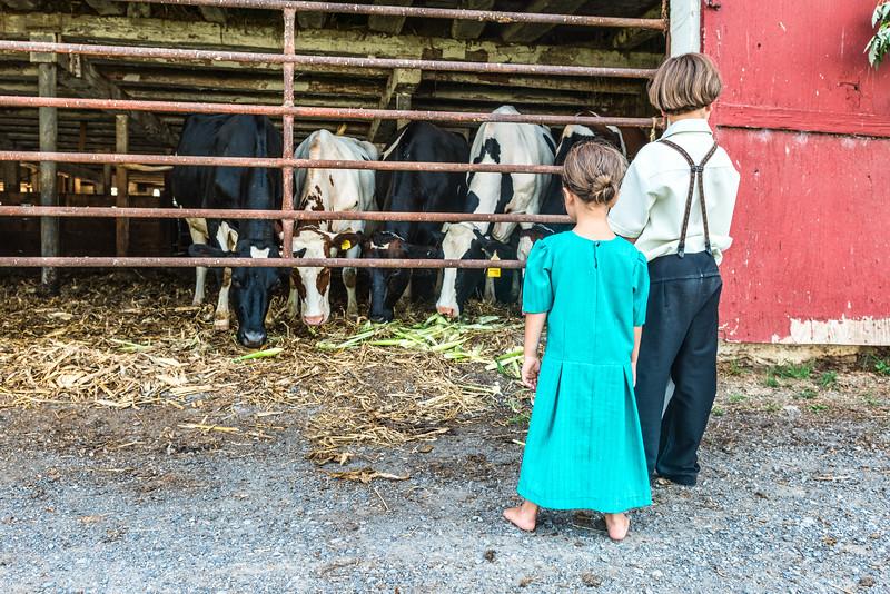 Amish Children Feeding Dairy Cows