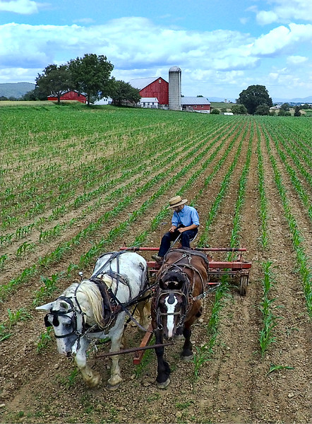 Farmer Working In Corn Field With Two Horse Team