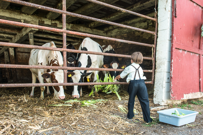 Young Boy Feeds Cows Corn Husks
