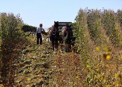 Amish man putting cut corn stalks on a horse drawn wagon.