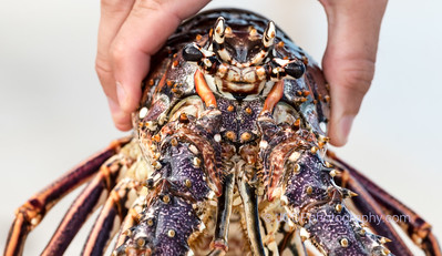 Live Lobster - Catch of the Day