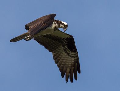 """Osprey (""""Fish Hawk"""")"""