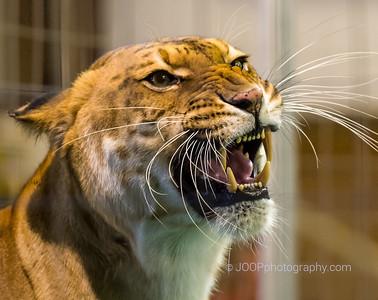 Liger (Crossbreed btw Male Lion & Female Tiger)