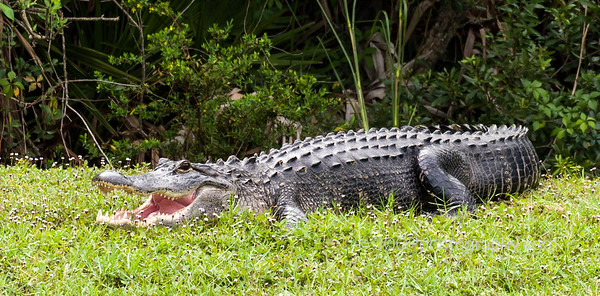 Alligator at Lakewood Ranch Country Club