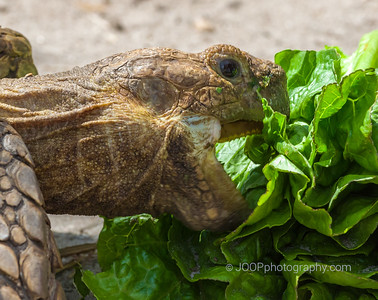 African Spurred Land Tortoise