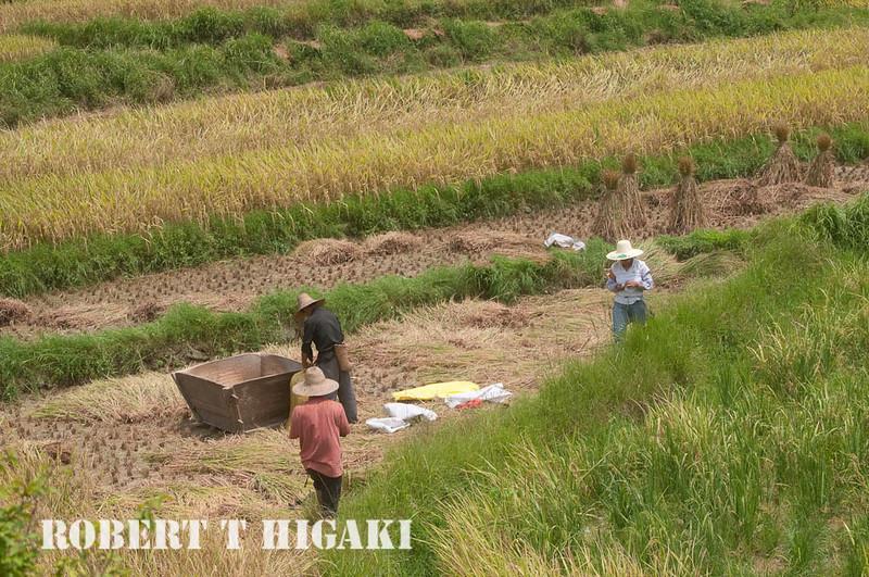 harvesting-8