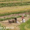 harvesting-7