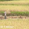 harvesting-4