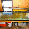 Golden shiners are kept in two 55 gallon tanks in the garage of Steve LaPrise of Templeton, Thursday, who has been legally catching live native bait fish for the past 40 years from private and public ponds for freshwater and ice-water fishing. The state is considering legislation that would make all trapping of live native bait illegal in Massachusetts for both commercial and personal use.<br /> SENTINEL & ENTERPRISE / BRETT CRAWFORD