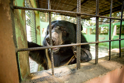 Asiatic black bear / moon bear / white-chested bear (Ursus thibetanus) in a zoo enclosure, Bangladesh