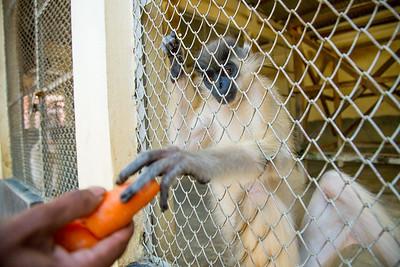Capped Langur (Trachypithecus pileatus) in a zoo enclosure, Bangladesh