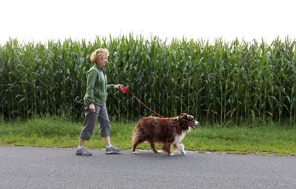 Carlisle dog walker by corn field 082118