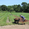 Ray French-Wollen of Seabrook, N.H., who works at Clark Farm on Bedford Road in Carlisle, moves mulch to rows of young blueberry plants. (SUN/Julia Malakie)