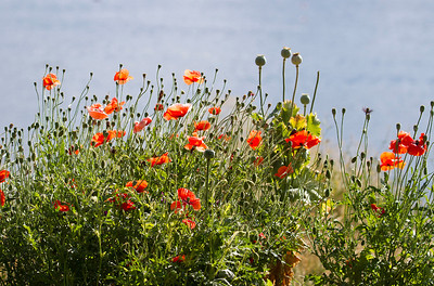 Poppies on Timber Ridge. August 2011.