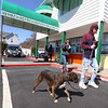 Dracut features. Bonnie Scipione gets ice cream at Frosty Boy with her son Cole, 15, walking their boxer Callie. (SUN/Julia Malakie)