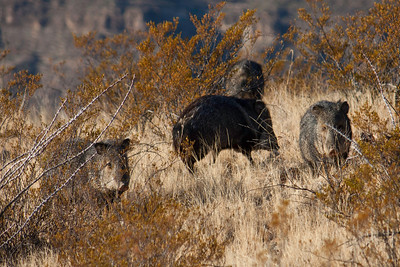 We encountered a herd of javelinas eating cactus for breakfast.