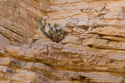 Cacti are so resilient they can even grow on the side of a cliff wall made of pure rock.
