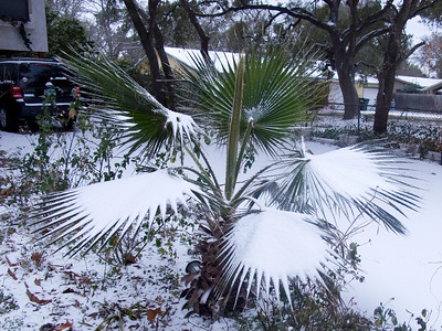 Our neighbor's palmetto plant really caught a lot of snow.