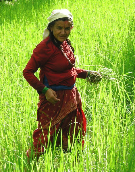 Woman working in the rice field, on way to Sarangkot, Pokhara, Nepal