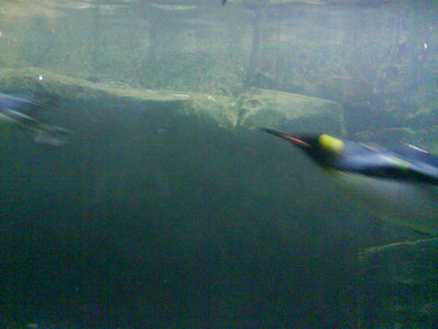 Here's a penguin swimming extremely fast!
