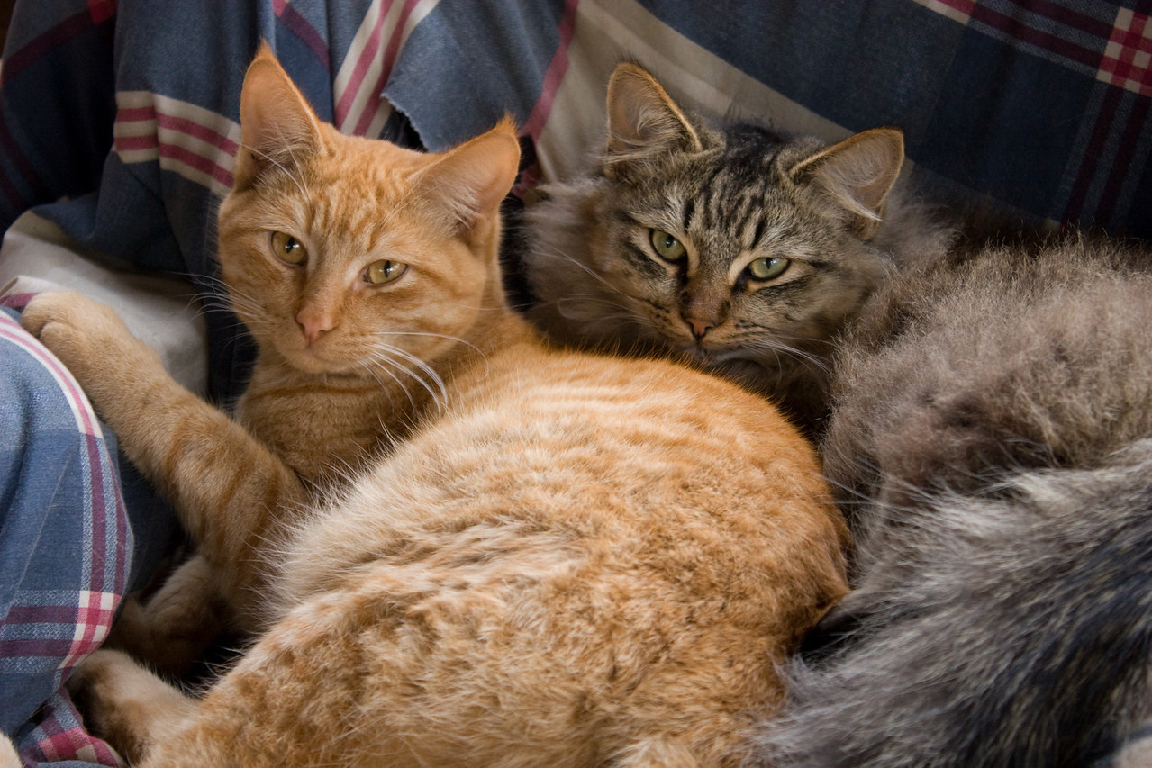 Resting cats, Feb 2009.  Tuffy's cats - Mr. Orange and Mr. Grey