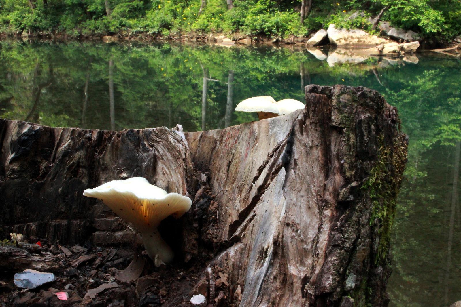 Mushroom Stump EFO 2018