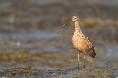 Long-billed Curlew - Palo Alto, CA, USA