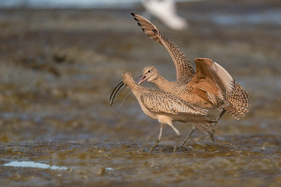 Long-billed Curlews fighting - Palo Alto, CA, USA