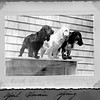 3 dogs 1940. Assume pencil is Lavinia's writing. She showed this type and had kennel.