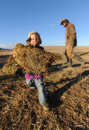 "Mike MacKinnon, background, gathers hay for the goats, as his daughter, Poet, 2, also helps.<br /> Mike MacKinnon does the evening chores with his children on Frog Belly Farms in Boulder County. For more photos of the farm, go to  <a href=""http://www.dailycamera.com"">http://www.dailycamera.com</a><br /> Cliff Grassmick / December 16, 2010"