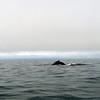 Rencontre avec la baleine boréale
