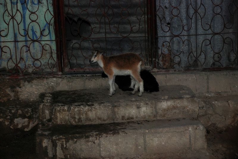 Goat on a doorstep in Titanyen.