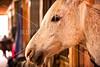 Hobby Horse -44