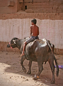 Young boy riding a cow - India