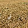 Greater and Lesser Sandhill cranes. Cosumnes River Preserve