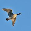 Aleutian Cackling Goose , Staten Island Rd  California Delta
