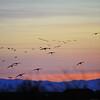Sandhill Cranes,  Consumnes River Preserve