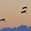 Sandhill Cranes ,   Consumnes River Preserve