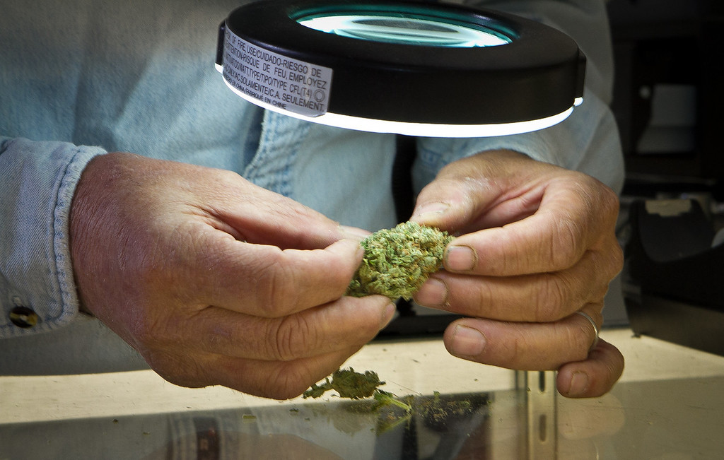 Lawrence Pebbles inspects some Marijuana Buds in his medical marijuana dispensary in Novato, Calif. on April 26th, 2012.
