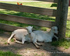 A couple goats resting in the shade