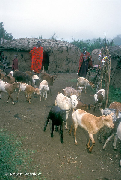 Maasai Goats within Village (called a Boma or Manyatta), Ngorongoro Crater Area, Tanzania, Africa