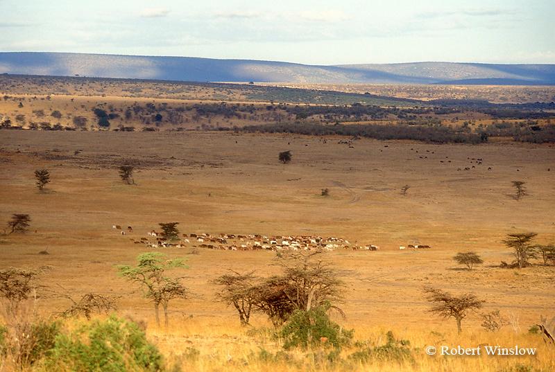 Maasai Cattle Grazing, Masai Mara, Kenya, Africa