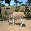 Normal transportation up the mountain to Mithon and St. Andre' parish - Donkey!