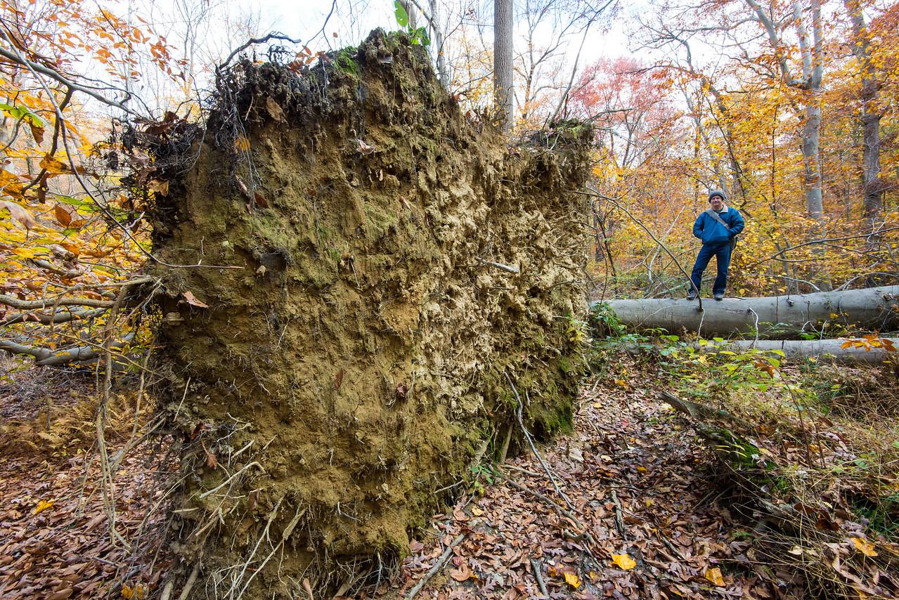 Uprooted tree outside of Tyler Arboretum - 03 November 2013