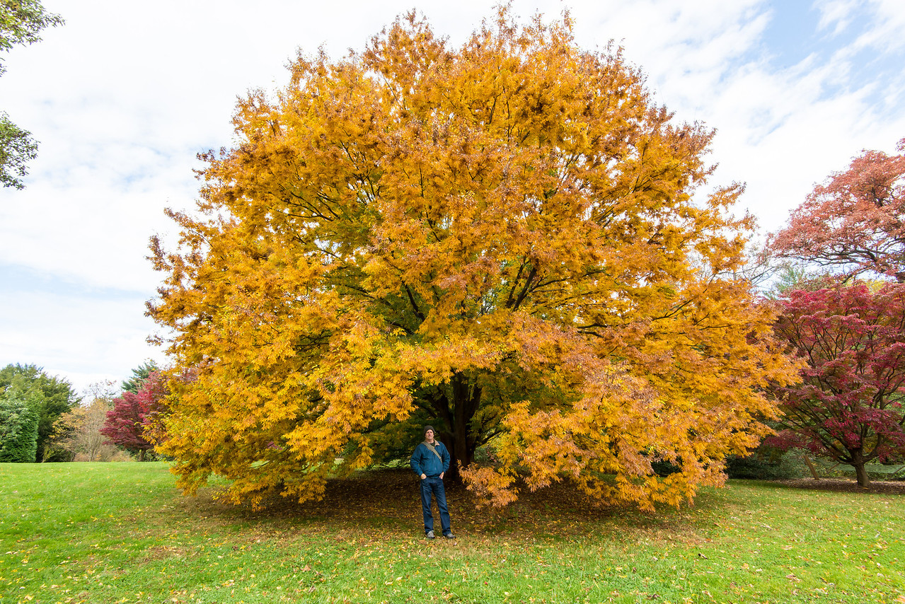 Ginkgo tree at Tyler Arboretum - 03 November 2013