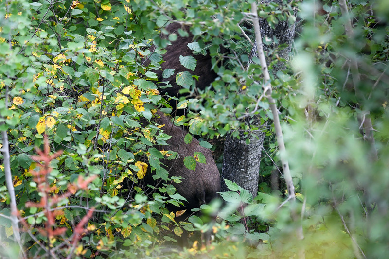Brief glimpse of a two Moose (a cow and its calf) near Mt. Franklin along the Greenstone Ridge Trail - Isle Royale National Park, September 19, 2018